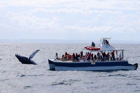 Многие туристы приезжают в Доминикану зимой, чтобы полюбоваться на горбатых китов