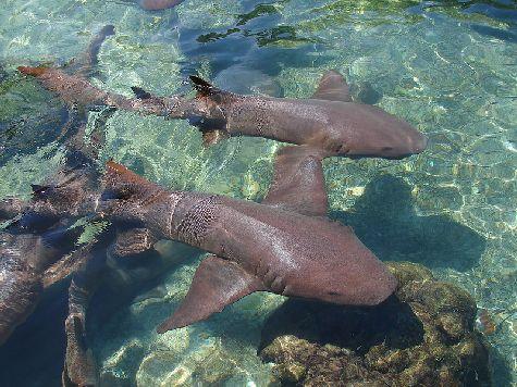 Немало в этих краях акул-нянек, но и они не считаются опасными